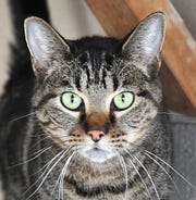 O'Malley is a 2-year-old domestic, shorthair/mixed cat that is looking for a new home. O'Malley is described as Friendly, cutely and gets along really well. You can find O'Malley and his friends at the Humane Society of Wichita County.