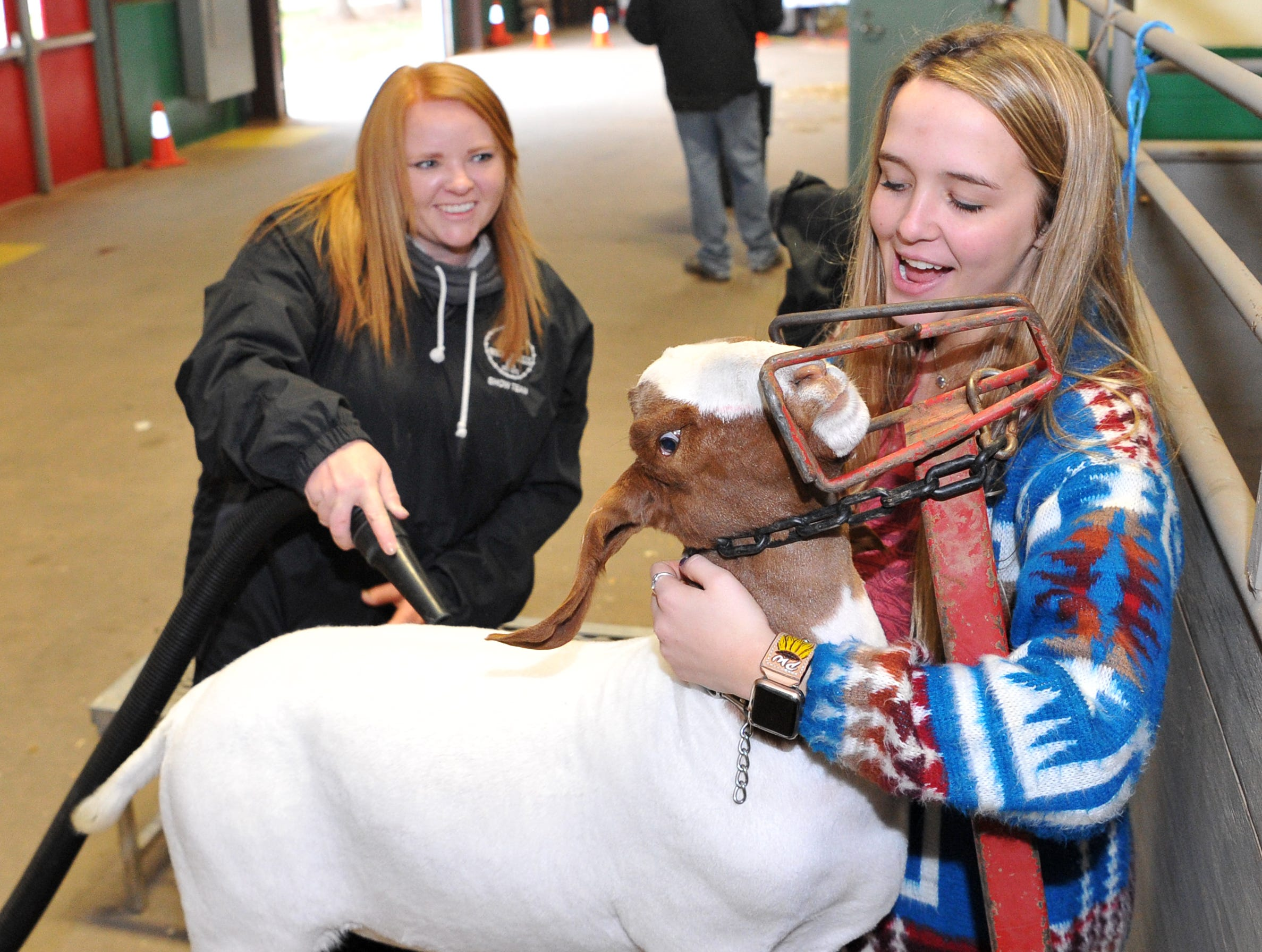 Peyton Wood, right, helps calm Luigi the goat while Amber West grooms her for show during the Wichita County Junior Livestock Show.