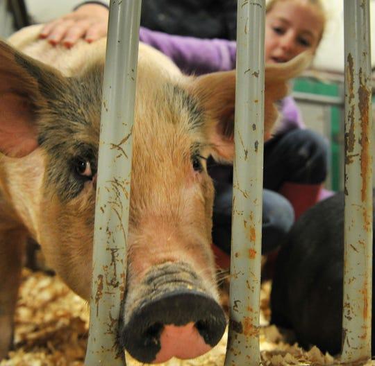 File - Cameron Bailey grooms Roothy for show during the Wichita County Junior Livestock Show.