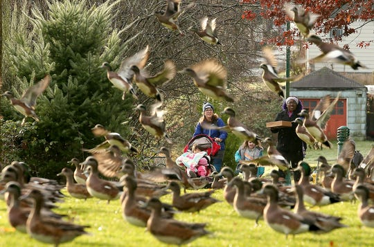 Kate Calixterio, left, with her kids Kora, 3, and Remi, 1, in the stroller are delighted as a large flock of wigeons take flight ahead of them as they walk along the path with Rylee Schaffer 4, center, and Shalynn Pugh with son Jaden, 4, at Evergreen-Rotary Park in Bremerton.