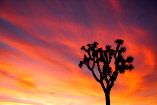 A Joshua tree silhouetted against the sky at the California park named for the protected tree.