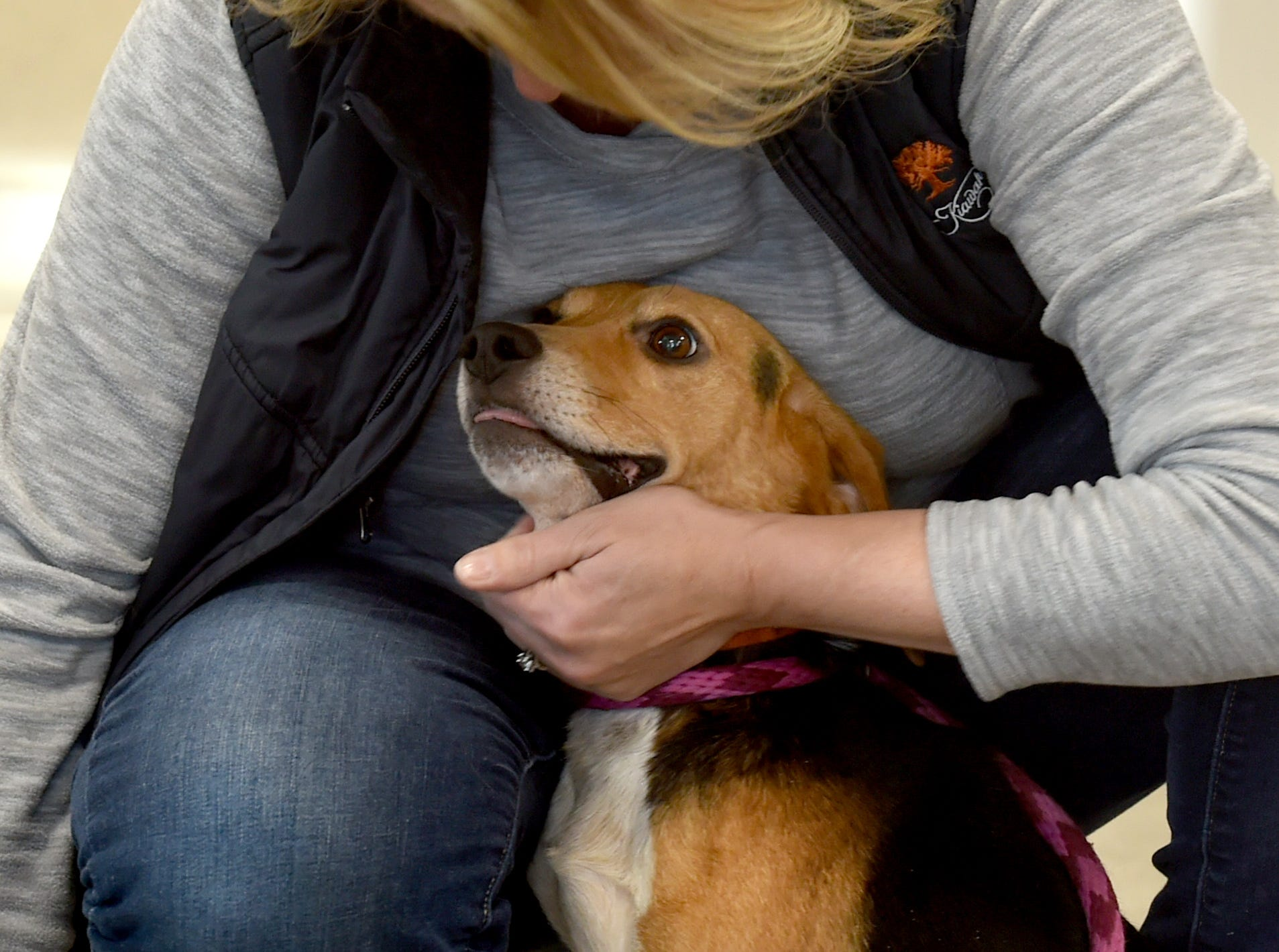 Adam, one of two beagles thrown from a vehicle in December, is cuddled by a volunteer at the Broome County Humane Society. Named Trooper and Adam for the state trooper and truck driver who rescued them, the pair are in the care of the Binghamton shelter. Trooper had to have one leg amputated due to the injury he sustained but is recovering well. January 11, 2019.