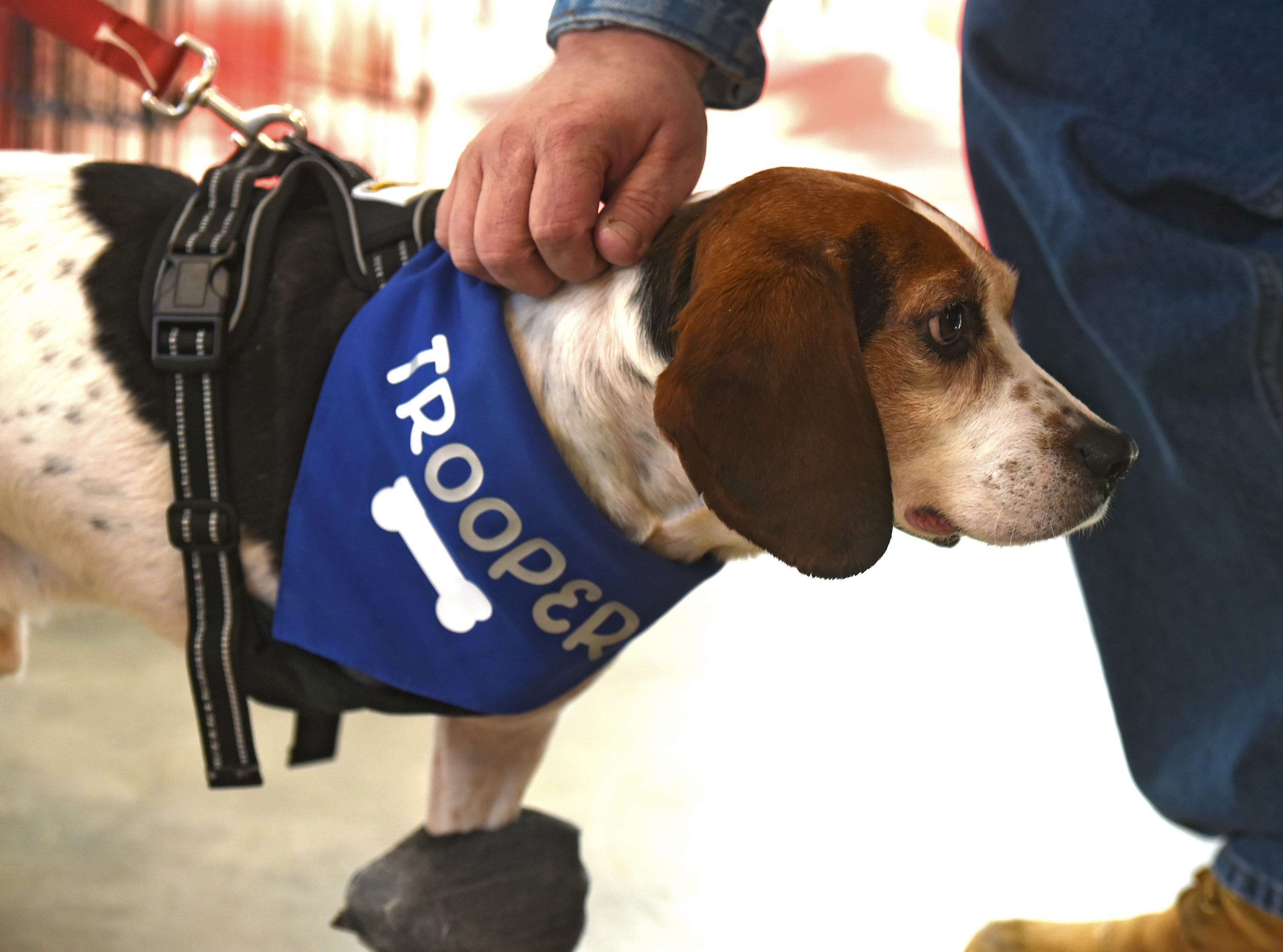 Trooper, one of two beagles thrown from a vehicle in December. Named Trooper and Adam for the state trooper and truck driver who rescued them, the pair are in the care of the Binghamton shelter. Trooper had to have one leg amputated due to the injury he sustained but is recovering well. January 11, 2019.