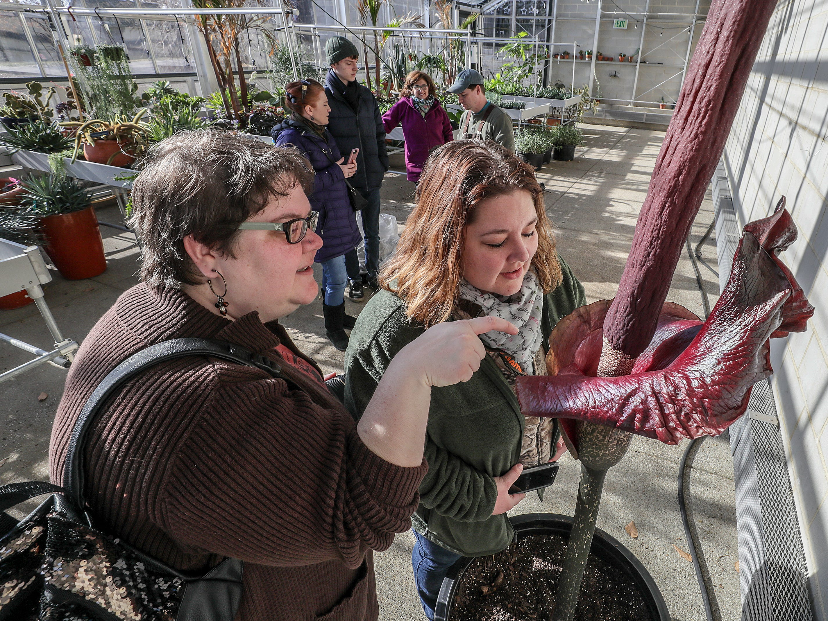 "Rachel Brewer and Melissa Burchett were part a steady stream of visitors in the greenhouse at Yew Dell Botanical Gardens on Friday to see, and smell, the blooming Amorphophallus konjac, otherwise known as the ""Corpse Flower"" or ""Voodoo Lily"".  The stinky plant blooms one time a year and grows almost two feet per day before blooming.  The flower gets its name from its smell that can be compared to rotting flesh or road kill.