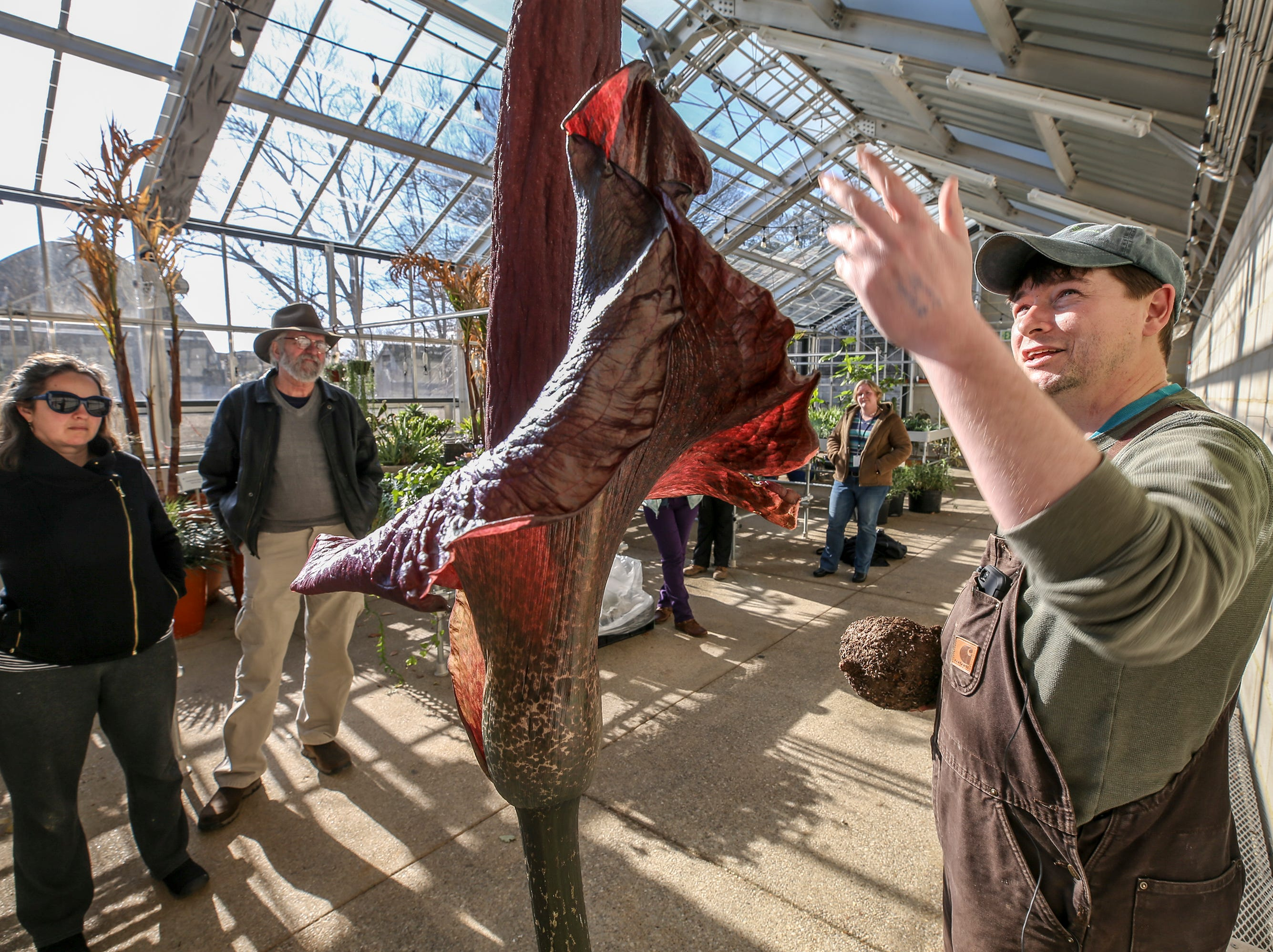"Jacob Stidham, Nursery Manager for Yew Dell Botanical Gardens, greeted guests to the greenhouse to check out the blooming Amorphophallus konjac, otherwise known as the ""Corpse Flower"" or ""Voodoo Lily"".  The stinky plant blooms one time a year and grows almost two feet per day before blooming.  The flower gets its name from its smell that can be compared to rotting flesh or road kill.