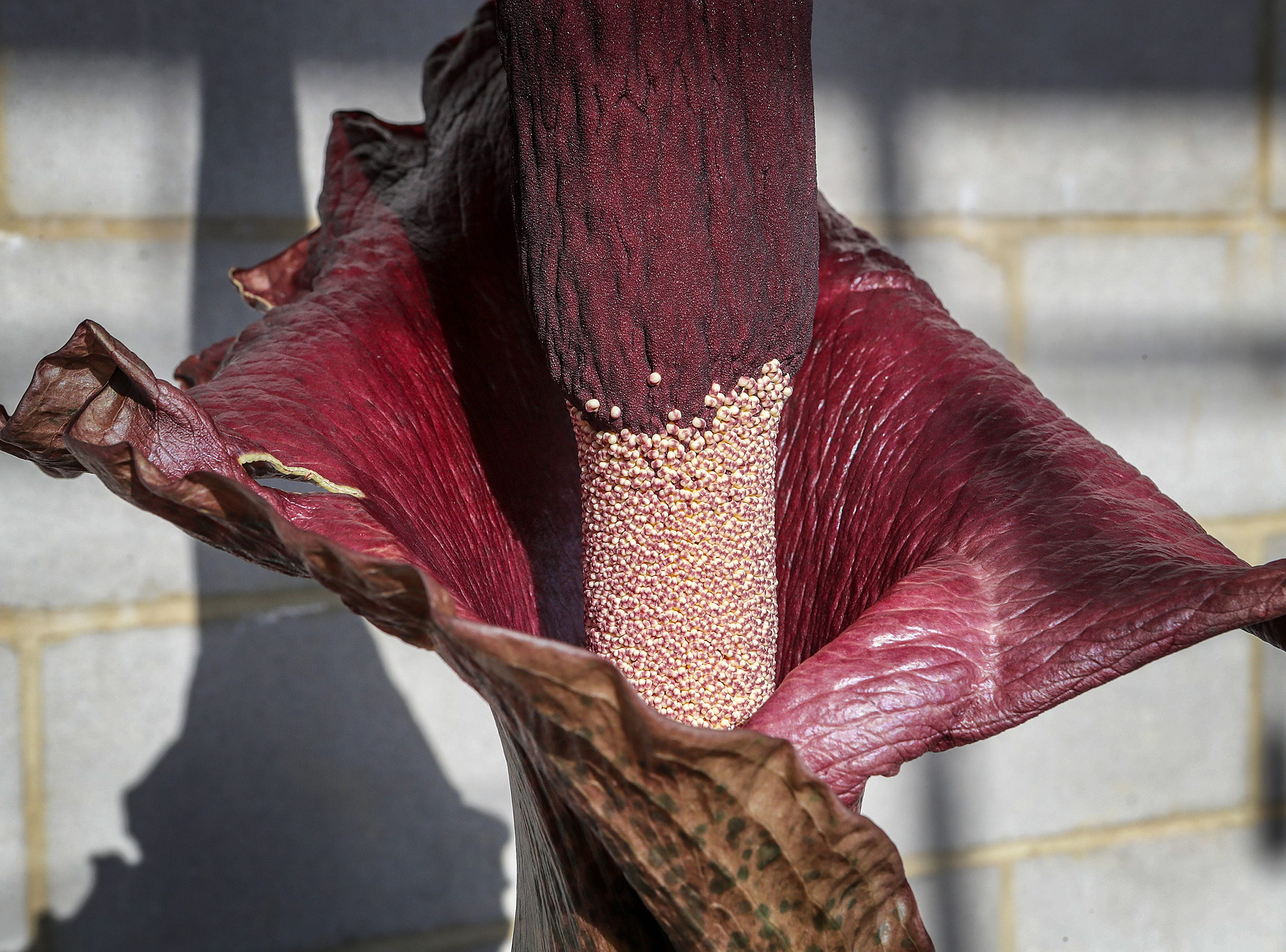 "The blooming Amorphophallus konjac, otherwise known as the ""Corpse Flower"" or ""Voodoo Lily"" at Yew Dell Botanical Gardens.  The stinky plant blooms one time a year and grows almost two feet per day before blooming.  The flower gets its name from its smell that can be compared to rotting flesh or road kill.