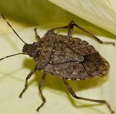 Polar vortex may not have killed 95 percent of stink bugs as reported