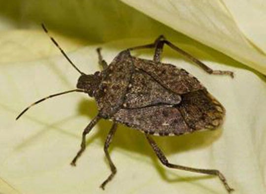 Brown marmorated stink bugs area nuisance inside mid-Michigan homes but do not pose a health threat.