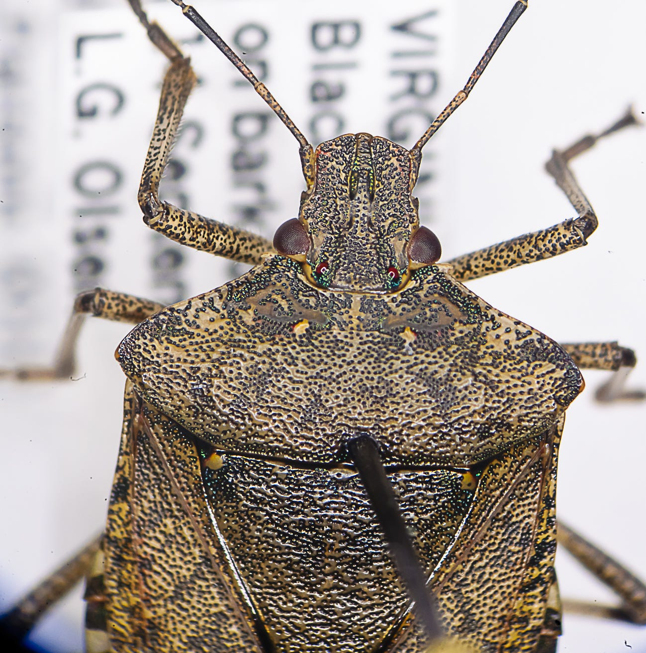 Putnam: Stink bugs likely to 'get a lot worse,' expert says