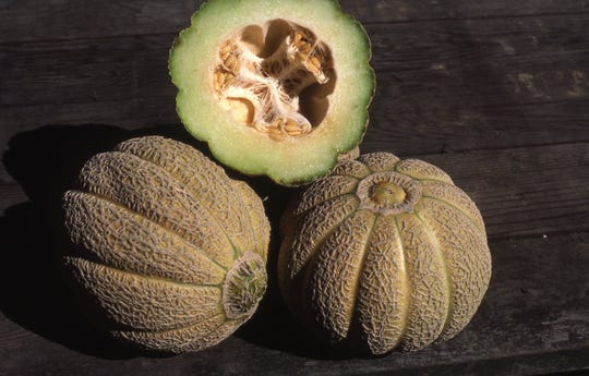 These large Jenny Lind muskmelons are heirloom muskmelons popular in the early 1900s. Many were grown in thestate of New Jersey.