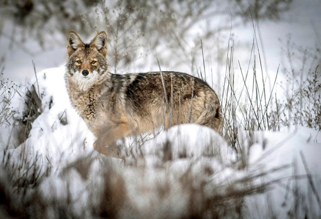 In this Feb. 28, 2015 file photo, a coyote pauses to look around while walking through an open field at Albuquerque's Nature Center in New Mexico.