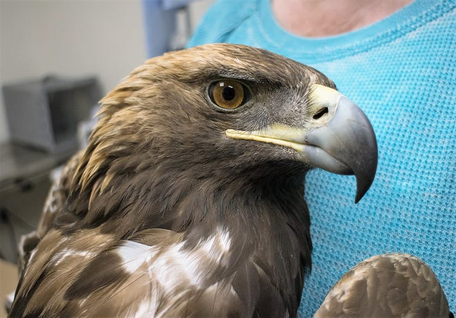 A golden eagle found injured last year at NAPI was nursed back to health by the nonprofit organization Hawks Aloft. Another golden eagle that was found shot with its tail feathers removed south of Farmington on Tuesday has died.