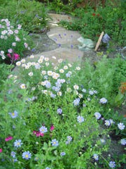 Seek blue daisy plants to blend with marguerites for a cool colored composition.