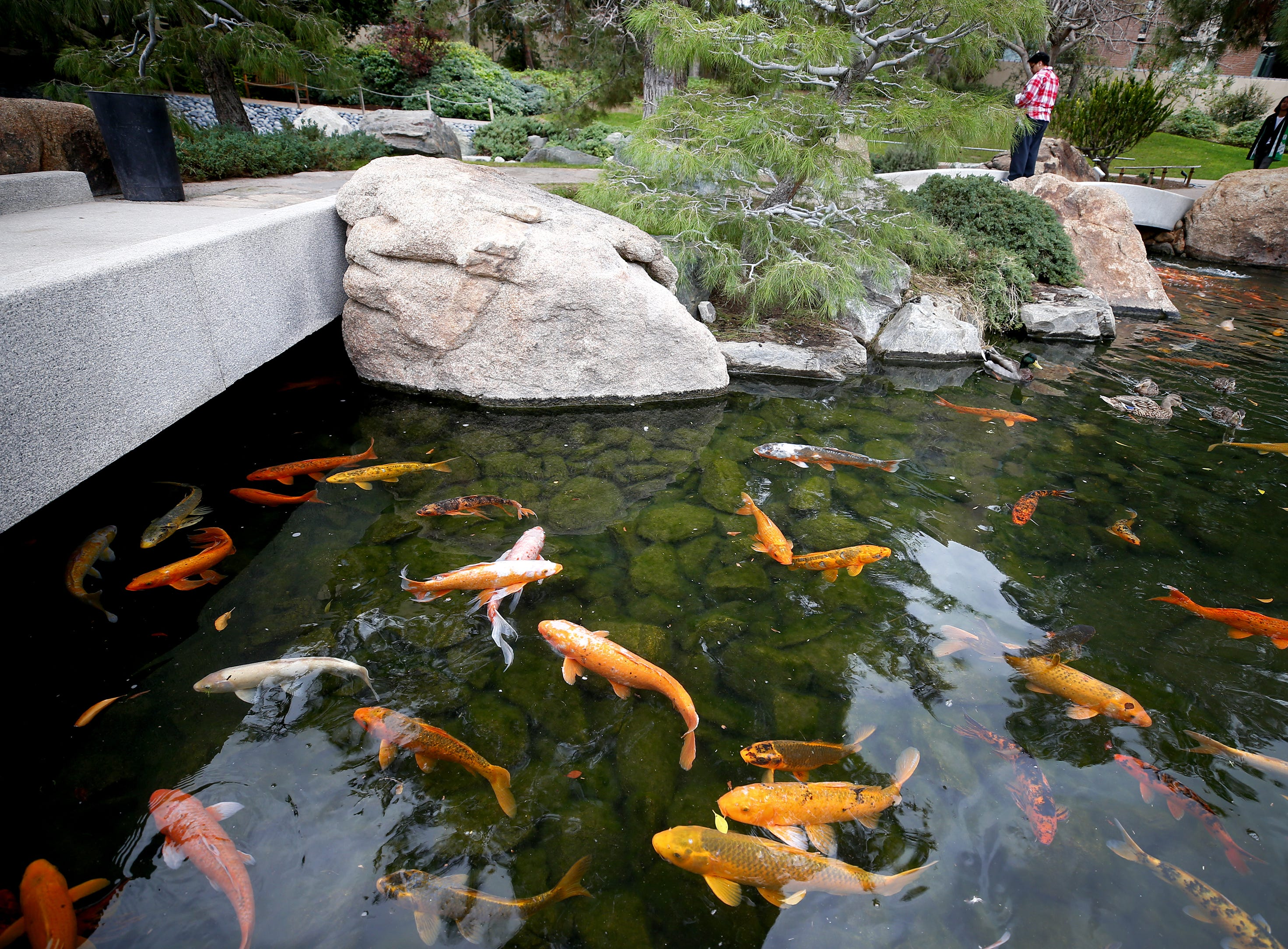 Japanese Friendship Garden offers a peaceful stroll to visitors in the heart of downtown Phoenix on January 10, 2019.