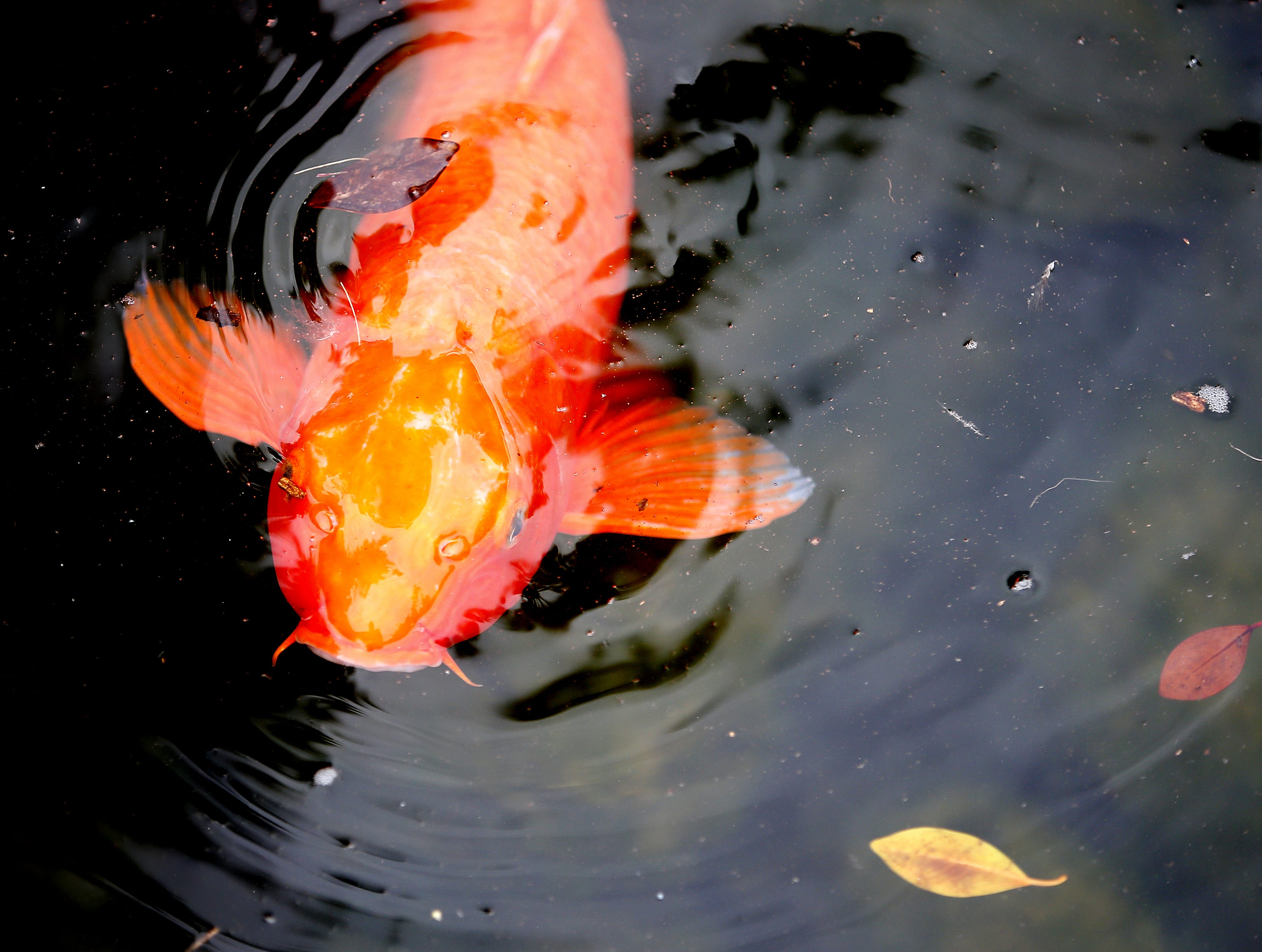 Koi fish swim in the pond at the Japanese Friendship Garden in downtown Phoenix.
