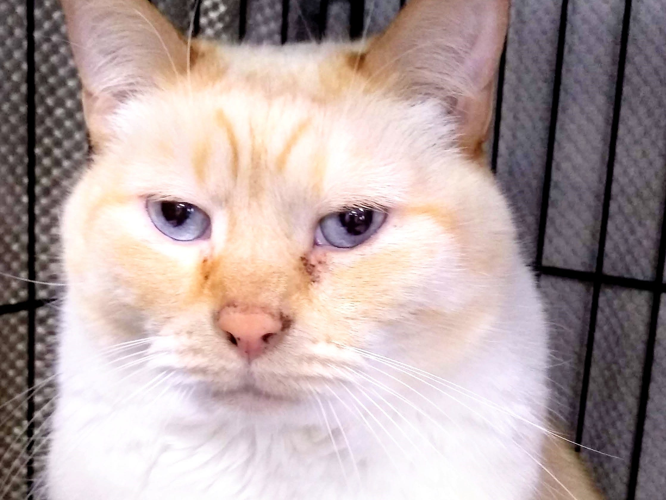 Bentley is 8 years old. He is a big bundle of love who loves human interaction and enjoys belly rubs Bentley is OK with dogs, but would prefer to be the only cat. An adult home with older teenagers would be best. For more information, visit www.sfof.org or call 503-362-5611.