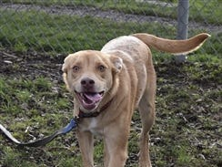 Marble is a 9-month-old male yellow and white Labrador Retriever mix. He is a big puppy with lots of energy to play and would love to take on a sport with you – jogging, running, hiking or maybe swimming. Marble is looking to learn with a nice family. Contact Marion County Dog Services at 503-588-5366 or go to www.MCDogs.net.
