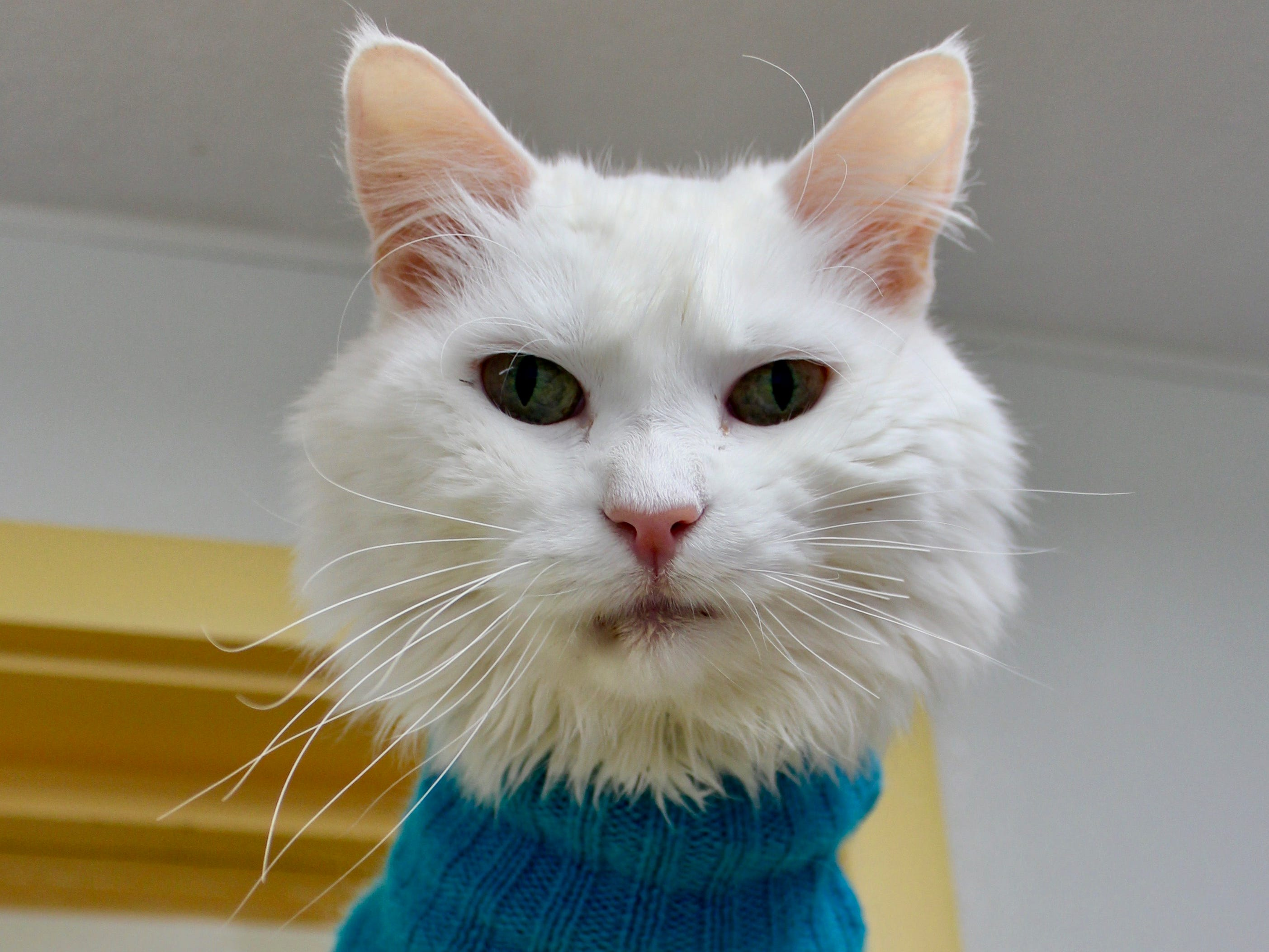 Snowball is a 12-year-old white cat. He will let his visitors pet him, brush him and pick him up for cuddles. That kind of openness is a little rare, especially for a former street cat. Snowball has a haircut due to the many mats that caked his coat when he came in. Now he's all cleaned up and ready to spend his forever with you. To find out more about him, call Willamette Humane Society at 503-585-5900 or visit www.whs4pets.org.