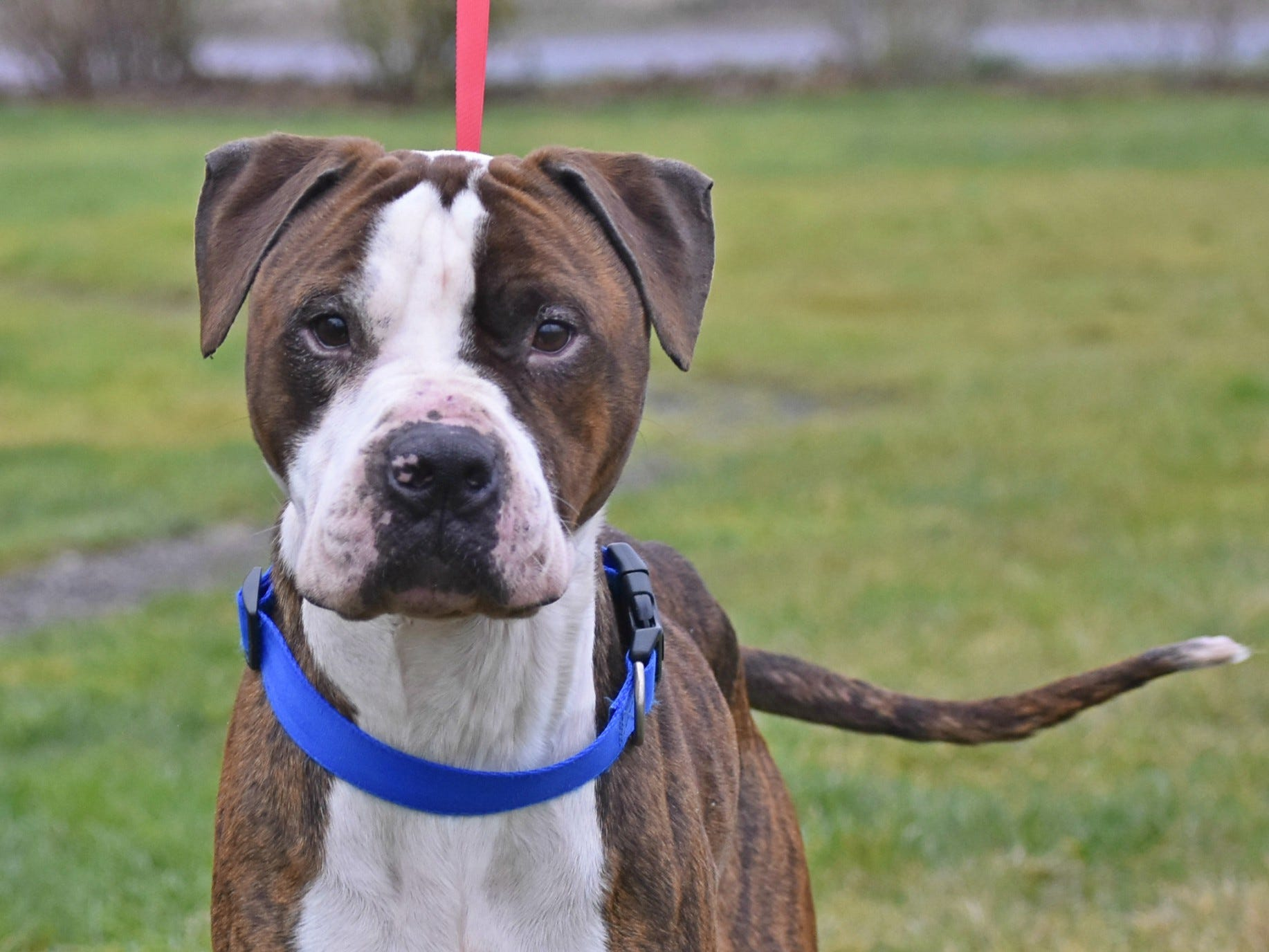 Waylan is a 6-year-old male brindle American pit bull mix. He is a sweet, goofy and lovable guy who loves walks, toys and couch time. Contact Marion County Dog Services at 503-588-5366 or go to www.MCDogs.net.