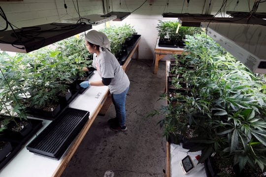 In this Dec. 27 photo, a grower at Loving Kindness Farms attends to a crop of young marijuana plants in Gardena.