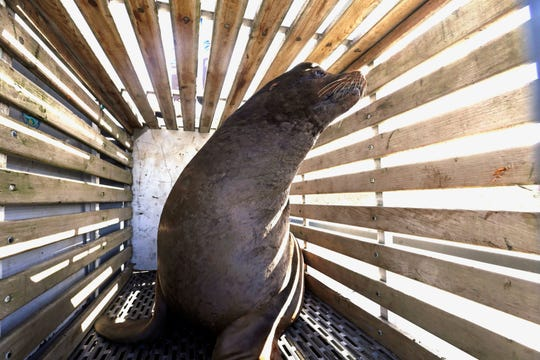 In this March 14 file photo, a California sea lion that was trapped at Willamette Falls in the lower Willamette River waits to be released into the Pacific Ocean near Newport, Ore. Oregon wildlife officials have started killing sea lions that threaten a fragile run of winter steelhead in the Willamette River.