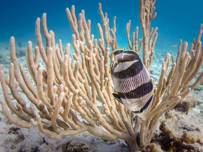 The reef-lined coast of Bonaire has received more awards for superb snorkeling than you can shake a fin at. From friendly angelfish and feisty sergeant majors to grunts, gobies and groupers, it's a field day for snorkelers looking for action.