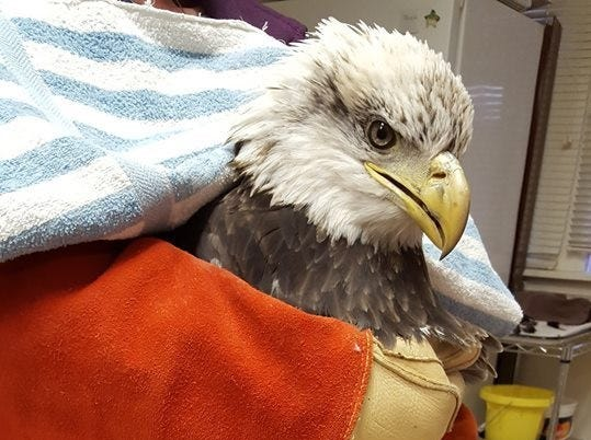 Lily, the bald eagle shot in Hunterdon County around Dec. 8 is in the care of the Raptor Trust. Lily went through a full post-op medical evaluation on Dec. 19.