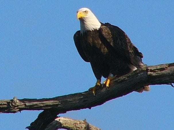 A bald eagle male at the Manasquan Reservoir in Howell in 2008.