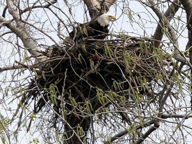 A bald eagle rests in a nest near the Delaware River April 13, 2006, in Camden. Volunteers help monitor the state's bald eagle population, birds that used to be all but extinct in the Garden State.