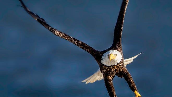 Bald Eagles Make Big Comeback In New Jersey