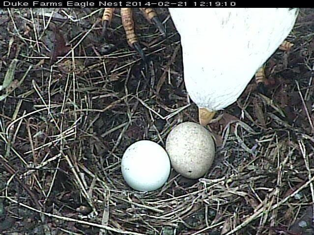 A bald eagle with two of her eggs in a nest at Duke Farms in Hillsborough.