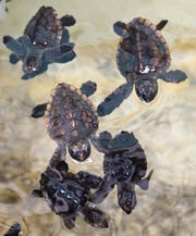 FSU researchers Mariana Fuentes and Natalie Montero have found that climate shifts are putting endangered marine turtles at risk.