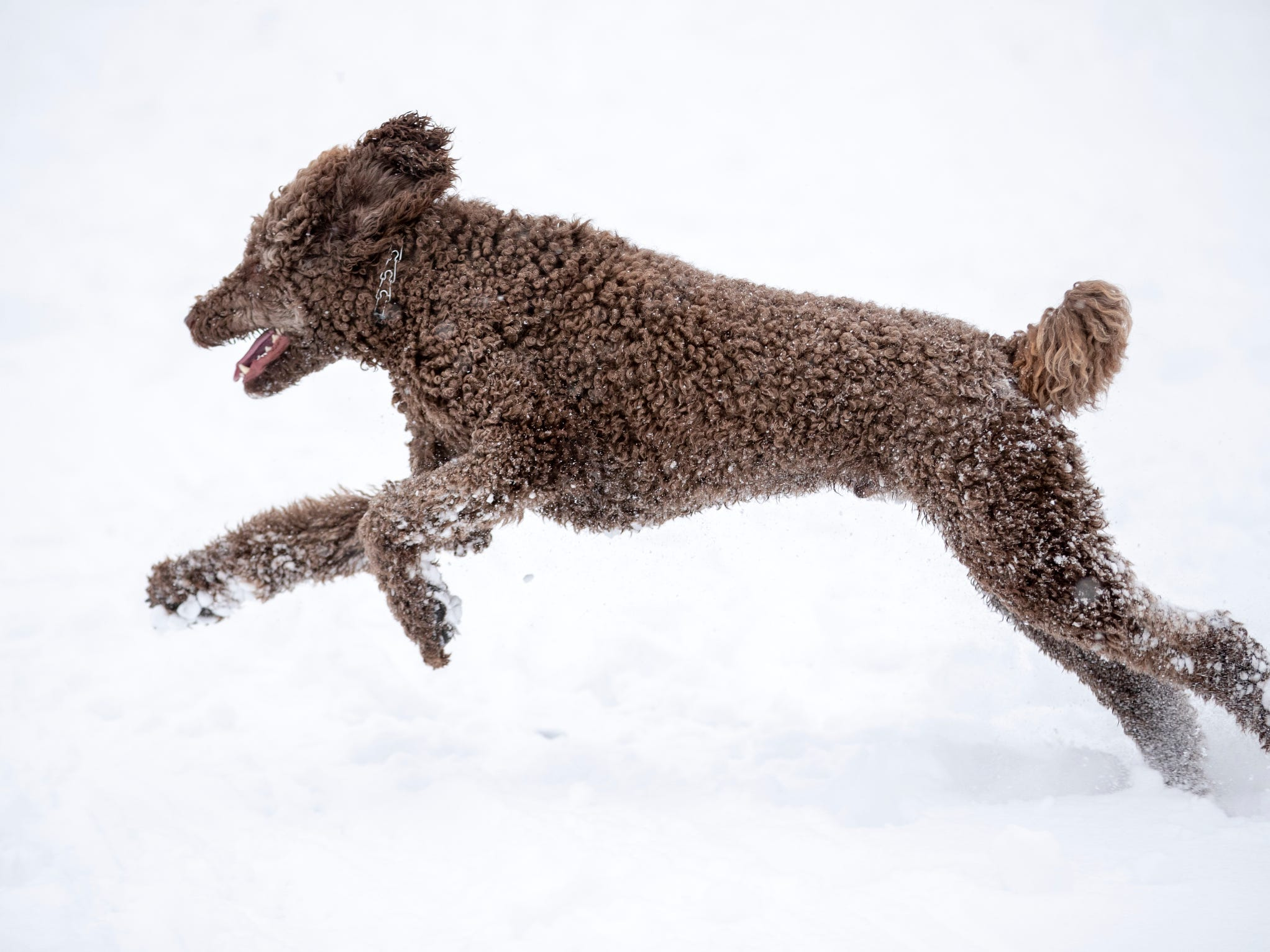 Gershwin the poodle bounds in snow at Butler University on a day where 5-7 inches of snow is expected to fall in Central Indiana, Indianapolis, Saturday, Jan. 12, 2019.