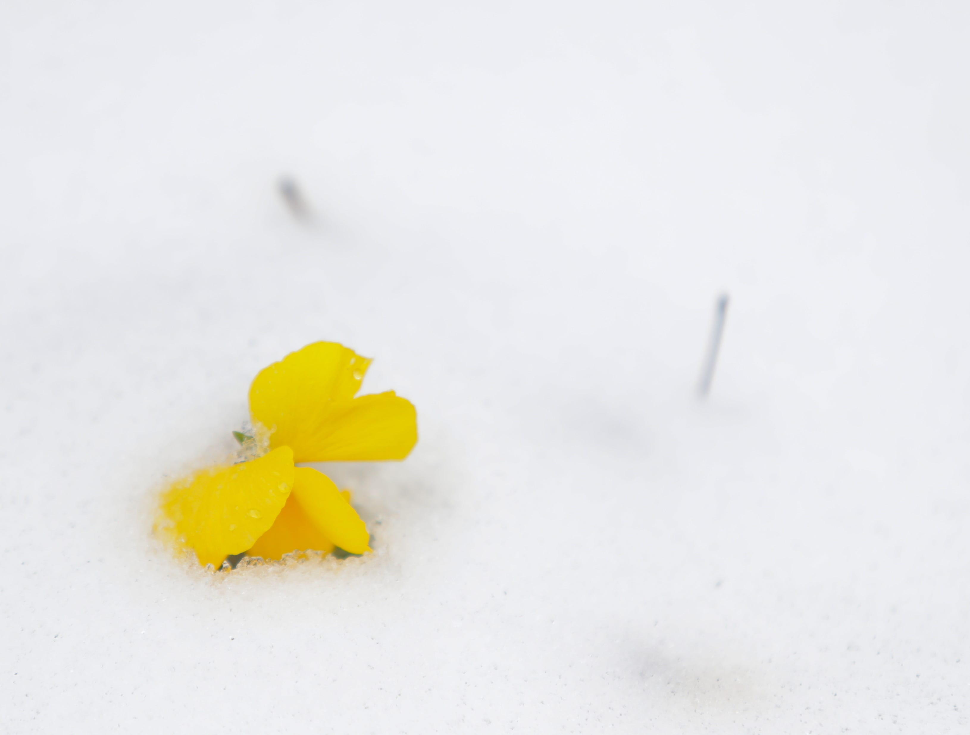 A flower peaks out from the snow that covered Louisville this weekend.
