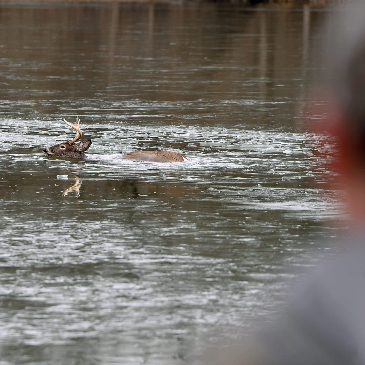'Sad news': Despite rescuers' efforts, buck pulled from Gifford Pinchot lake dies