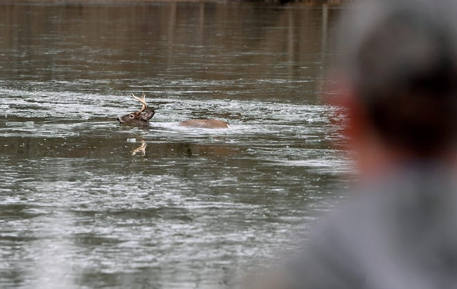 John Stoll Jr. of Wellsville watches a whitetail deer swim to shore after it, along with several others, fell through the ice at Gifford Pinchot State Park, Saturday, January 11, 2019. John A. Pavoncello photo