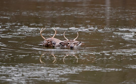 Two whitetail buck struggle after falling through the ice at Gifford Pinchot State Park, Saturday, January 11, 2019. With the help of park officials, who broke up the ice, the two deer eventually made it to shore.