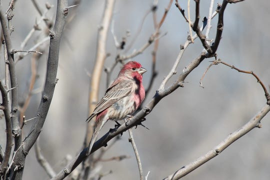 House finches are one of the most rambunctious and noticeable of all of the avian species that occur in this area.