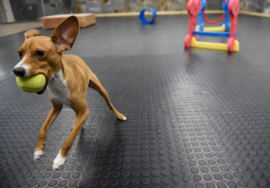 Arthur enjoys chasing a tennis ball Saturday, Jan. 11, at the Grey Face Rescue indoor dog park.