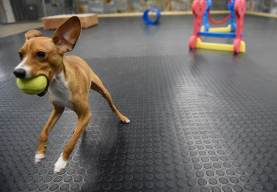 Arthur enjoys chasing a tennis ball Saturday, Jan. 11, at the Grey Face Rescue indoor dog park.