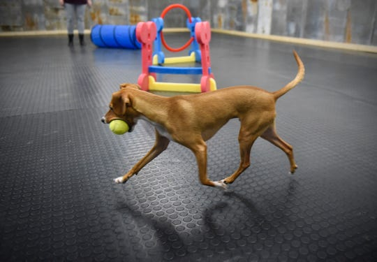 One-year-old Arthur plays with a tennis ball Saturday, Jan. 11, at the Grey Face Rescue indoor dog park.