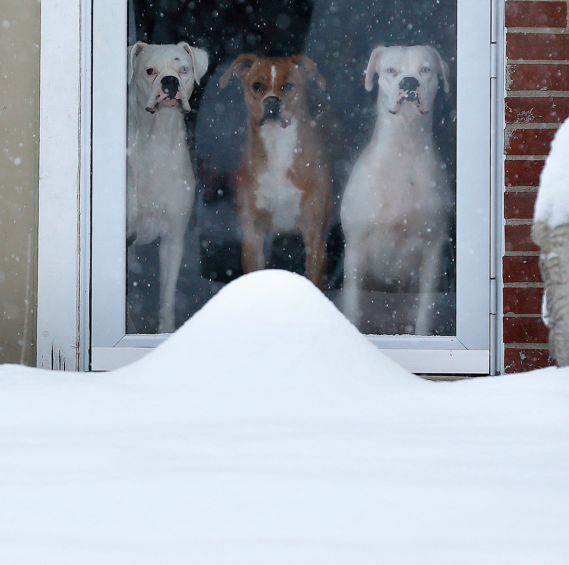 Three dogs look out at the snow from their Forest...