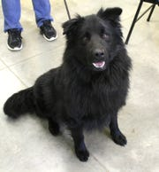 Brawley is a neutered male, 1-year-old, Border Collie/Chow Chow mix.