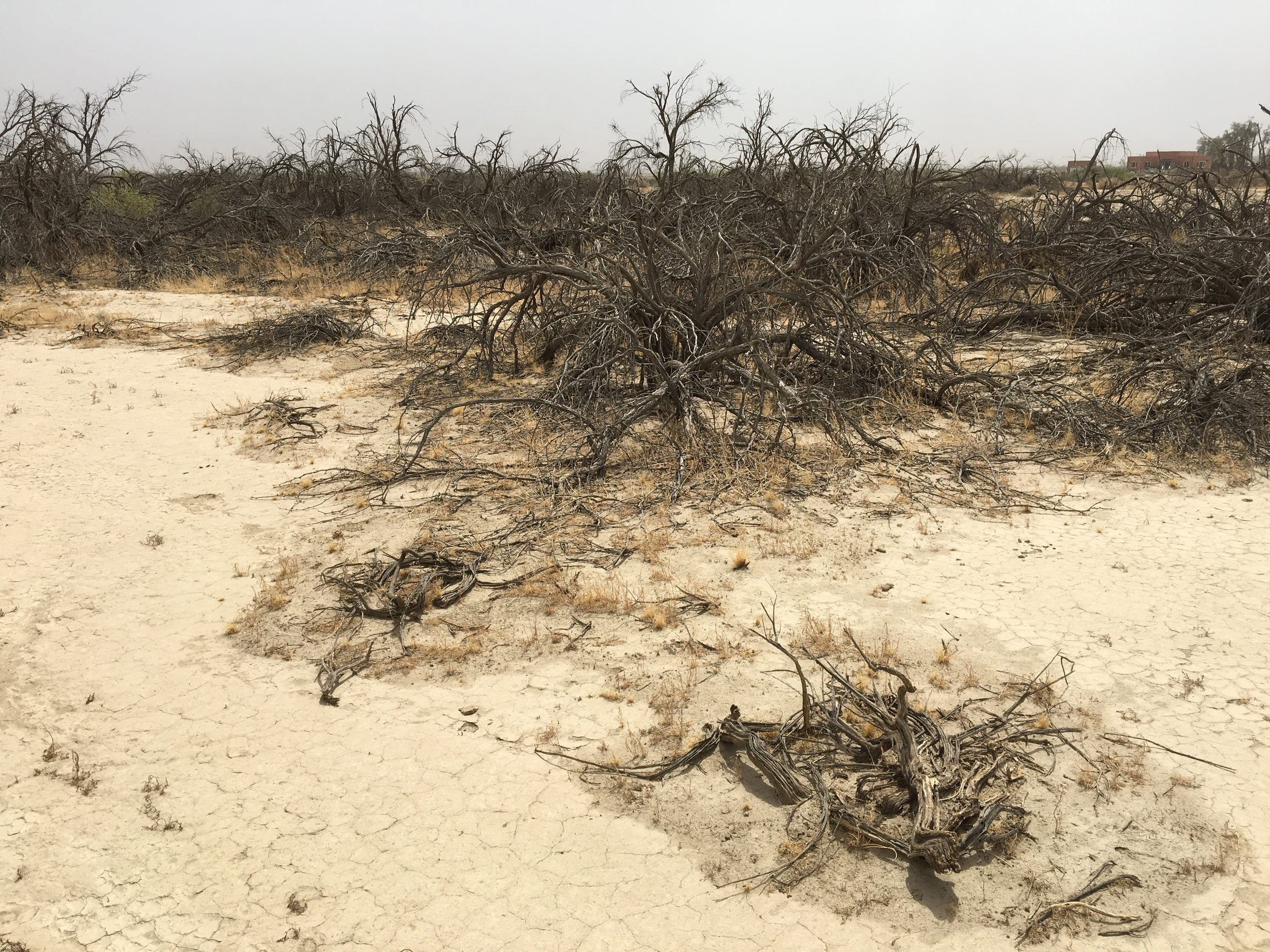 In the desert next to Borrego Springs, many mesquite trees have died because their roots no longer reach the falling water table.