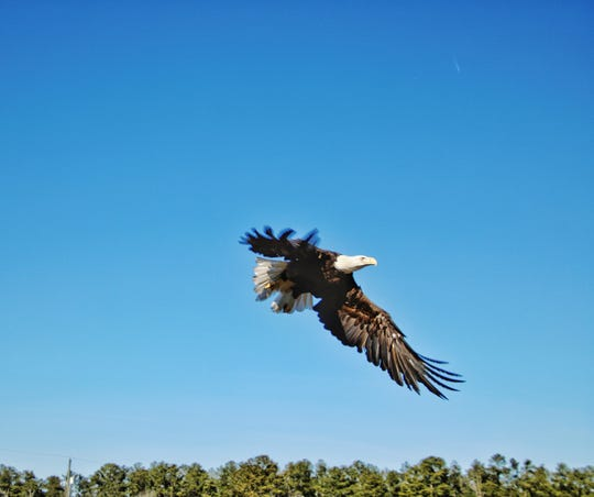 An eagle that has recovered from injuries sustained in October 2018 soars after being released at Tall Pines Harbor Campground near Temperanceville, Virginia on Friday, Jan. 11, 2019.