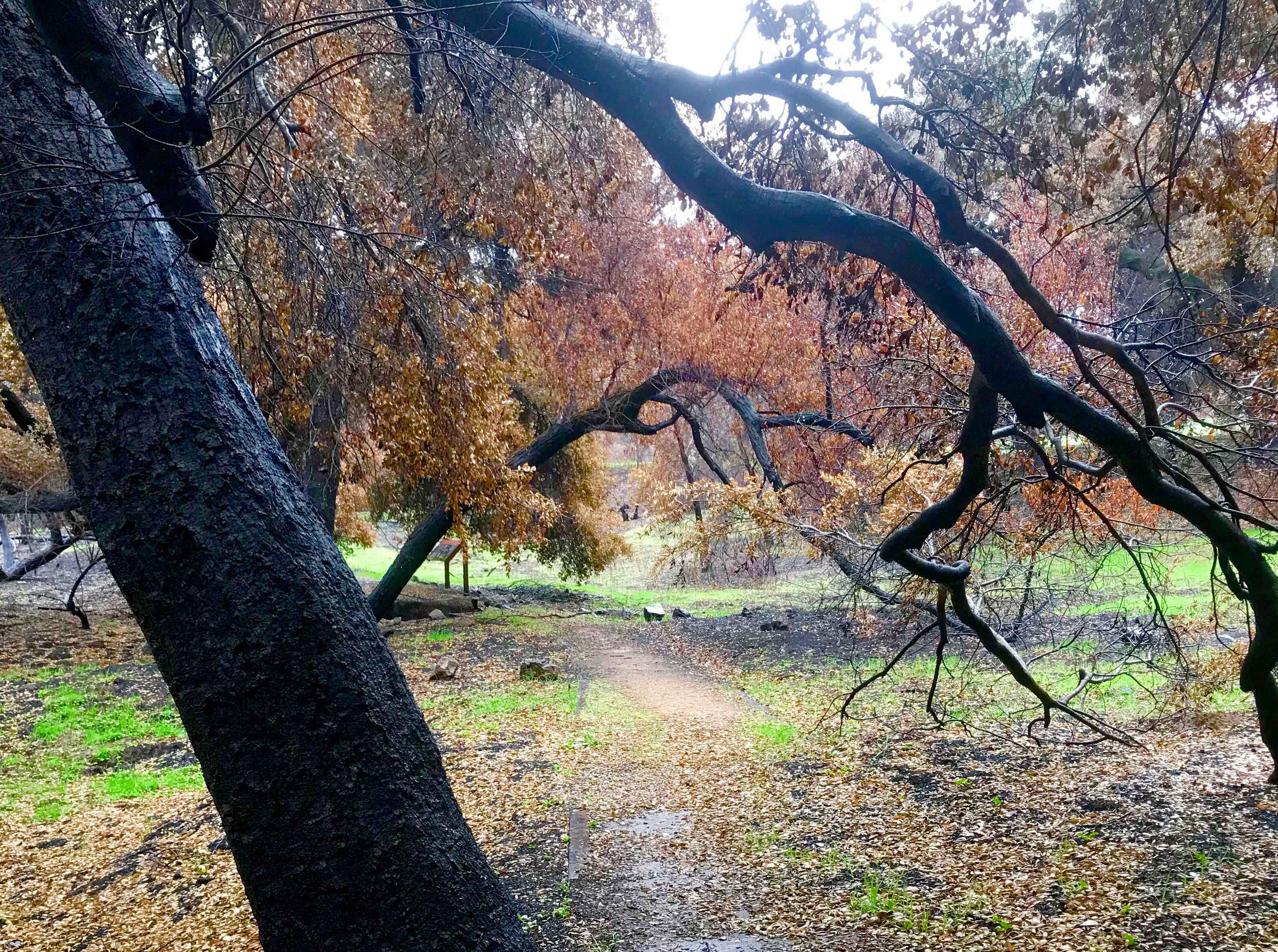 The Woolsey Fire burned 75 percent of Malibu Creek State Park in Calabasas, but winter rains quickly led to green grass.