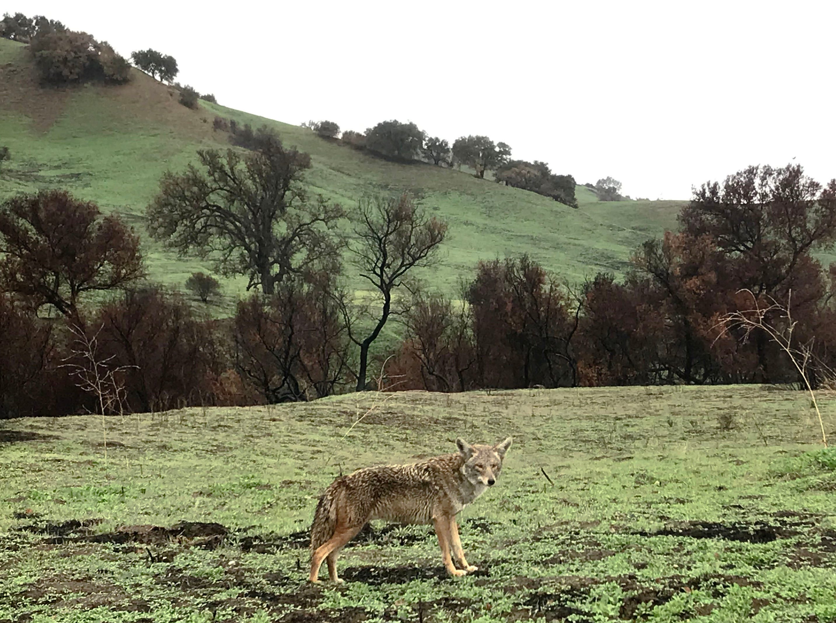 A coyote passes through Malibu Creek State Park on Saturday after an overnight storm.