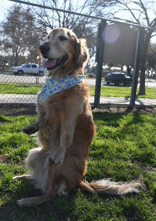 Cubby strikes his signature pose. His weakened front legs cause the golden retriever to often stand upright on his haunches, like a rabbit.