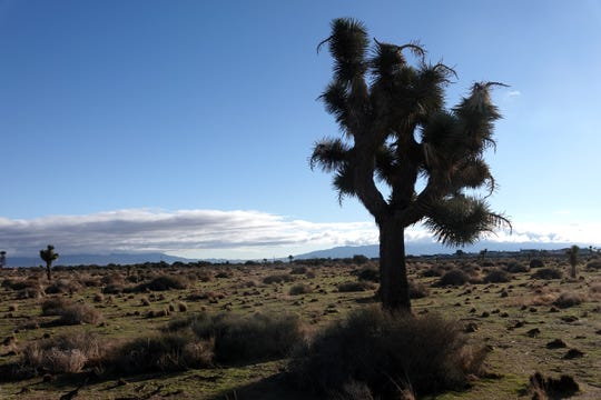 The first Joshua tree sighting, in Hesperia, California, 90 miles outside of Los Angeles.