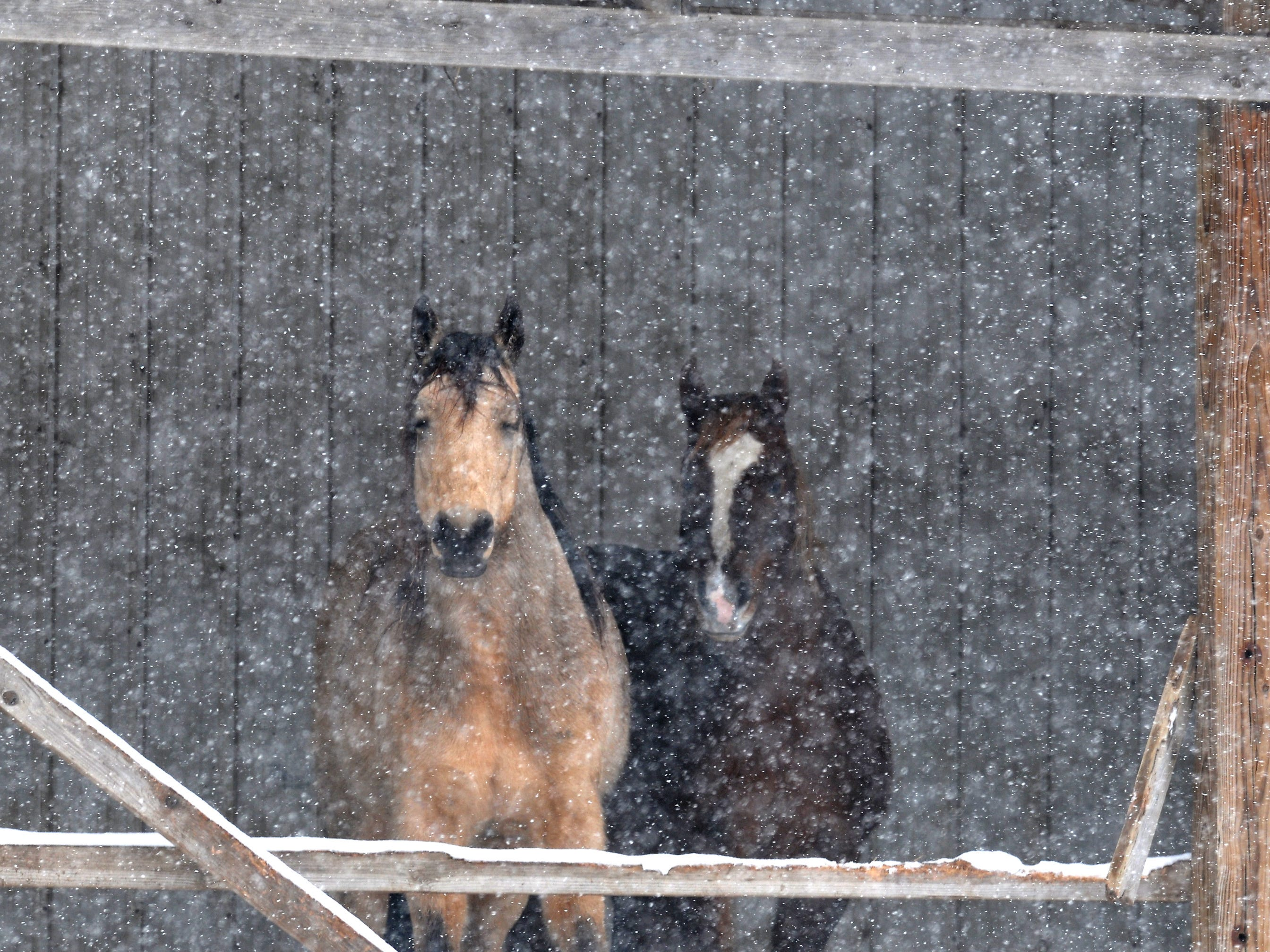 Horses watch the snow fall during a winter storm near New Virginia, Iowa on Jan. 12, 2019.